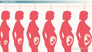 Uterus Size In Cm During Pregnancy Chart What Is The Uterine Cavity Size Definition
