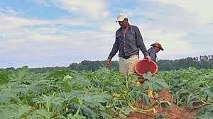 us farmers depend on illegal immigrants most of the one million farm workers in america are immigrants up to a half