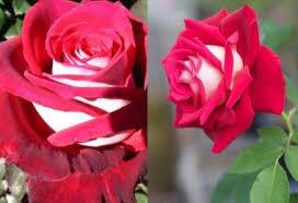 Роза Осирия | Розы, Цветение, Клумбы