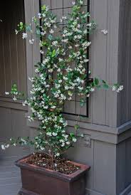 Best 25 Climbing Hydrangea Ideas On Pinterest  Climbing Shade Wall Climbing Plants In Pots