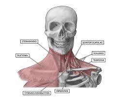 Crossfit Cervical Muscles Part 1