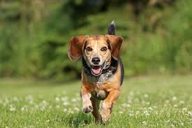 Beagle Dog Breed Information Pictures Characteristics