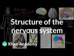 Flow Chart Of Nervous System In Human Beings Structure Of The Nervous System Video Khan Academy