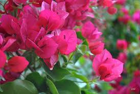 Ý nghĩa hoa Giấy – mong manh nhưng không dễ vỡ. - Blog ý nghĩa hoa