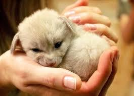 newborn fennec fox.  Newborn Fennec4201536 With Newborn Fennec Fox E