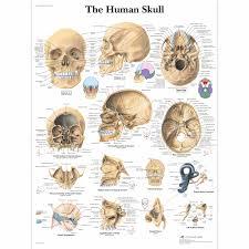 Sinus Chart Human Skull Chart