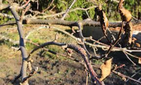 Dormant Sprays For Fruit Trees Prevent Pest Problems Now  Sky Dormant Fruit Trees