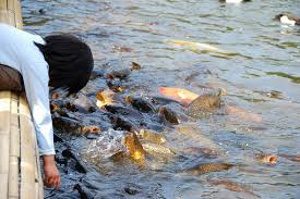 Image result for FISH RAISING IMAGE