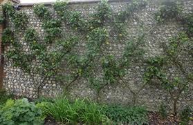 Download Espalier Citrus Trees For Sale  Solidaria GardenGrowing Cordon Fruit Trees