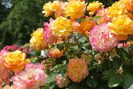 shrub of colorful roses in the rose garden