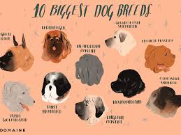 Saint Bernard Height Chart The 10 Biggest Dog Breeds In The World