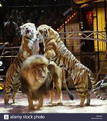 LION VS TIGER - Barbary lion vs Siberian tiger