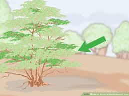 How To Grow A Sandalwood Tree 14 Steps With Pictures