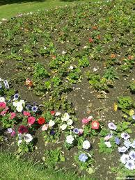 pelargoniums petunias recently planted bedding scheme bedding plants tender perennials annual