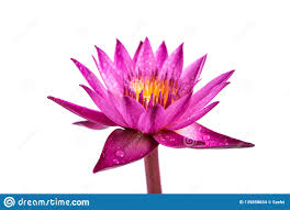 Lilybud Gardens By Design Water Lily Isolated On White Background Stock Photo Image