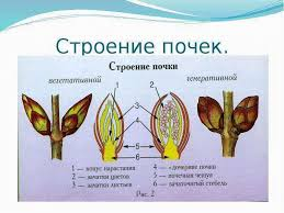 Презентация Органы выделения Строение и работа почек  Строение почек реферат по биологии