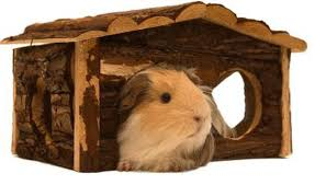 jupiterimages photos com getty images your guinea pig
