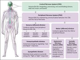 Adrenergic Receptors Chart Physiological Basis Of Adrenergic Pharmacology Epinephrine