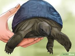 How To Tell A Turtles Age By Rings And Size Wikihow