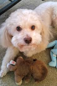 austin tx meet rudy sweet 8 yo bichi poo for adoption in austin tx rudy is a little doll this healthy 8 year old bichon frise toy poodle