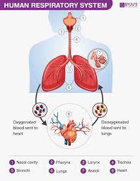 Respiratory System Flow Chart Human Respiratory System Definition Diagram Respiratory