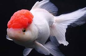 Fantail Goldfish Growth Chart Oranda Goldfish Oranda Fancy Goldfish Information And Care