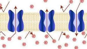 طرق النقل في الخلية ... تعرف علي نوعي النقل في الخلايا بالتفصيل   موقع  معلومات