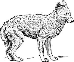 Small Picture 11 best Coyote Jackal Coloring Pages images on Pinterest