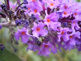 Buddlejaceae - Wikipedia
