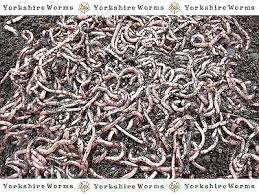 RED WORMS + DENDROBAENA WORMS + TIGER WORMS ...
