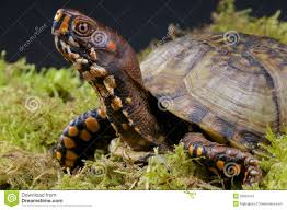 North American Turtles Identification The Box Turtle Is A