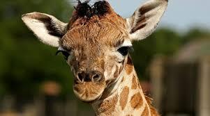 Image of: Funny Zoo Celebrates Birth Of Endangered Baby Giraffe Bailiwick Express Zoo Celebrates Birth Of Endangered Baby Giraffe Bailiwick Express