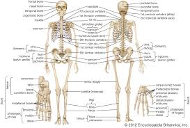 Human Skeleton Parts Functions Diagram Facts Britannica