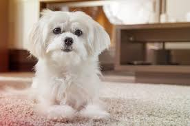 the cleanest dog breeds you can own
