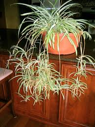 They're called spider plants because the way they shoot out runners and  baby spider plants ...