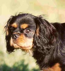 Cavalier Weight Chart Kidney Disease And The Cavalier King Charles Spaniel