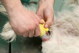 puncture wounds in dogs symptoms