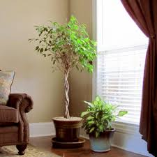 Buy plant for living room online at Nursery Live | Largest plant nursery in  india