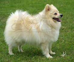 Από πού προέρχονται τα Pomeranian;