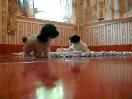 teacup and tiny toy poodle austintexas video dreamlinsaquapoodles