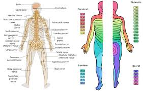 Chart Of Dermatomes Peripheral Nervous System Class