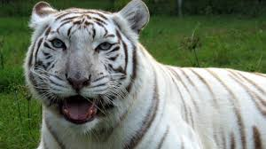 white tiger. Unique Tiger White Tigers  Get The FACTS With Tiger I