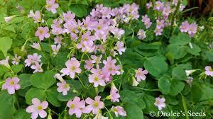 image 4 of oxalis pink flowering wood sorrel green leaf shamrock plant