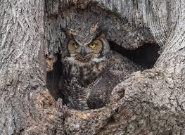 great horned owl house plans new great horned owl house plans boxes bird nest box ohio