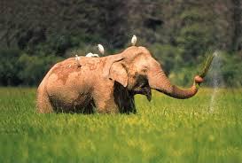 elephant article uncyclopedia fandom powered by wikia