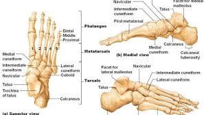 Ankle Bone Chart Left Foot Ankle Bone Anatomy Bone Anatomy Of Foot Anatomy