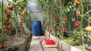 Video harvest of ripe red tomatoes in a greenhouse  HD stock footage clip