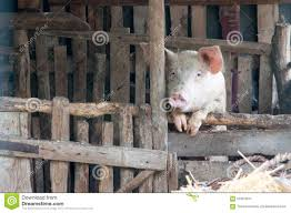 Pig Enclosure Design Lonely Pig Stock Image Image Of Construction Farm Earing