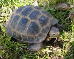 Common Health Problems With Russian Tortoises Pethelpful
