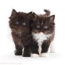 cute fluffy kittens. Perfect Kittens Blackandwhite And Chocolate Cute Fluffy Kittens White Background On Cute Fluffy Kittens